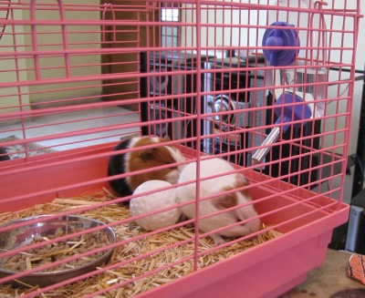 our-pets-guinea-pigs